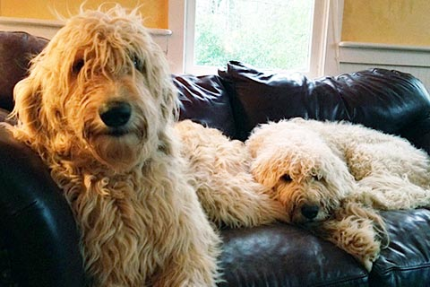 two labradoodles on the couch